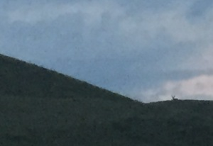 stag watching us