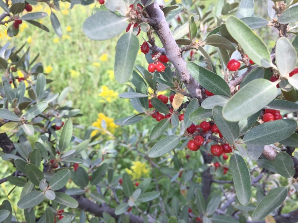 buffalo berries