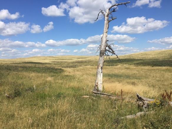 dead tree in prairie